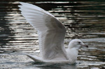 Iceland Gull - 1st Winter
