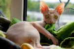 Piglet the sphynx cat