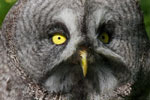 Great Grey Owl (Captive)