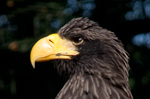 Steller`s Sea Eagle (Captive)