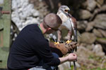Ferruginous Hawk (Captive)
