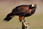 Harris Hawk (Captive)