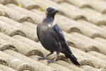 House Crow <i>(Corvus splendens)</i>